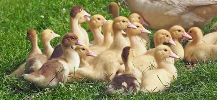 goslings-1566724_1920.jpg