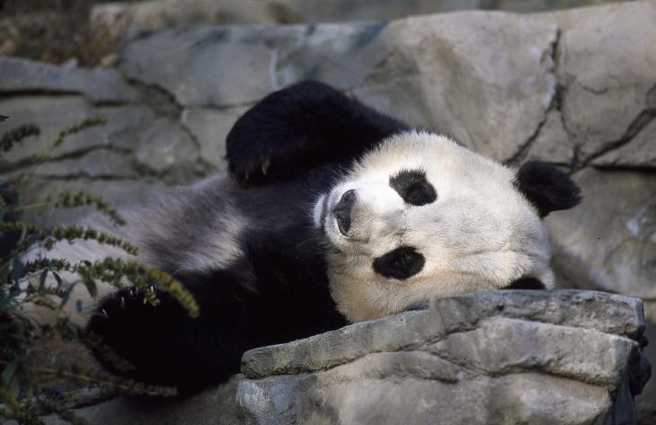 panda-1594138_1280.jpg